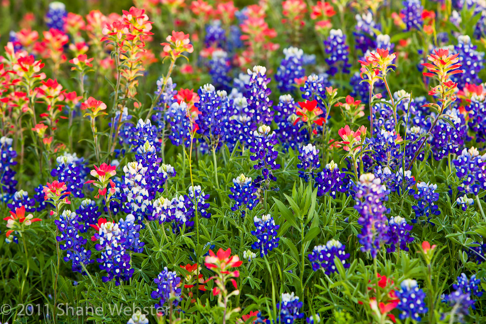 Swp flower gallery texas spring mightylinksfo